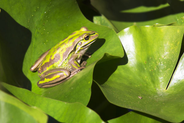 green and golden bell frog